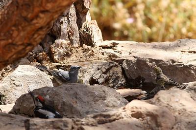 Pinson bleu - Fringilla teydei - Blue Chaffinch Pic épeiche - Dendrocopos major canariensis - Great spotted Woodpecker Serin des Canaries - Serinus canaria - Atlantic Canary