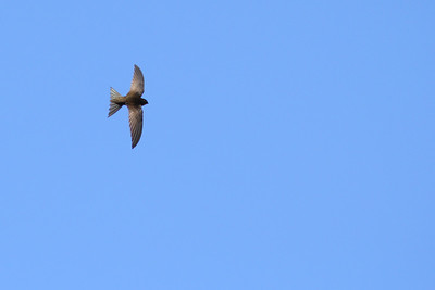 Martinet unicolore - Apus unicolor - Plain Swift