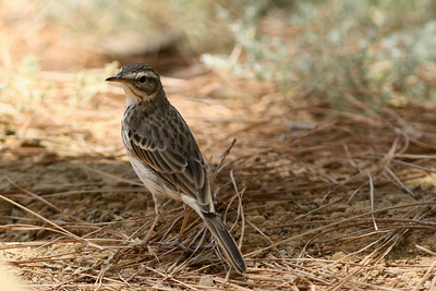 Pipit de Berthelot - Anthus berthelotii - Berthelot's Pipit