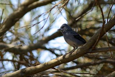 Pinson bleu - Fringilla teydei - Blue Chaffinch
