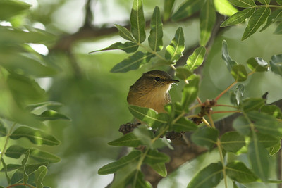 Pouillot des Canaries - Phylloscopus canariensis - Canary islands Chiffchaff
