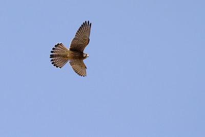 Faucon crécerelle - Falco tinnunculus canariensis - Eurasian Kestrel
