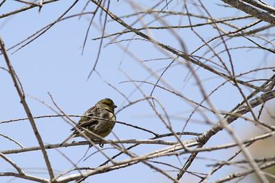Serin des Canaries - Serinus canaria - Atlantic Canary