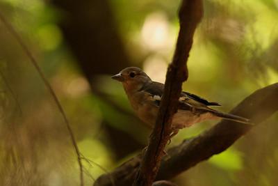 Pinson des arbres - Fringilla coelebs palmae - Common Chaffinch