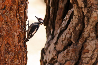 Pic épeiche - Dendrocopos major canariensis - Great spotted Woodpecker