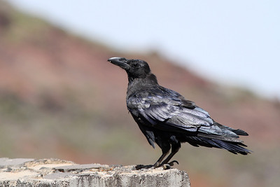 Grand Corbeau - Corvus corax - Common Raven
