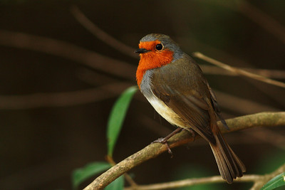 Rougegorge familier - Erithacus rubecula marionae - European Robin
