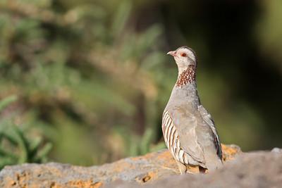 Perdrix gambra - Alectoris barbara - Barbary Partridge