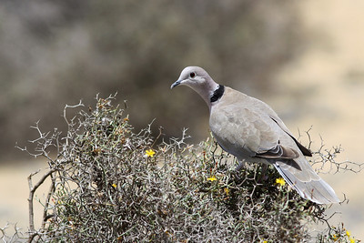 Tourterelle turque - Streptopelia decaocto - Eurasian collared Dove
