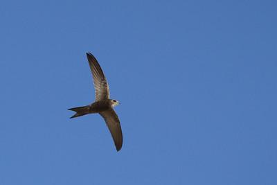 Martinet pâle - Apus pallidus