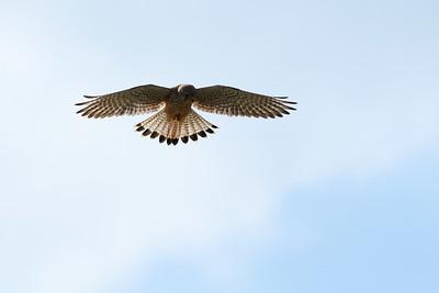 Faucon crécerelle - Falco tinnunculus - Eurasian Kestrel