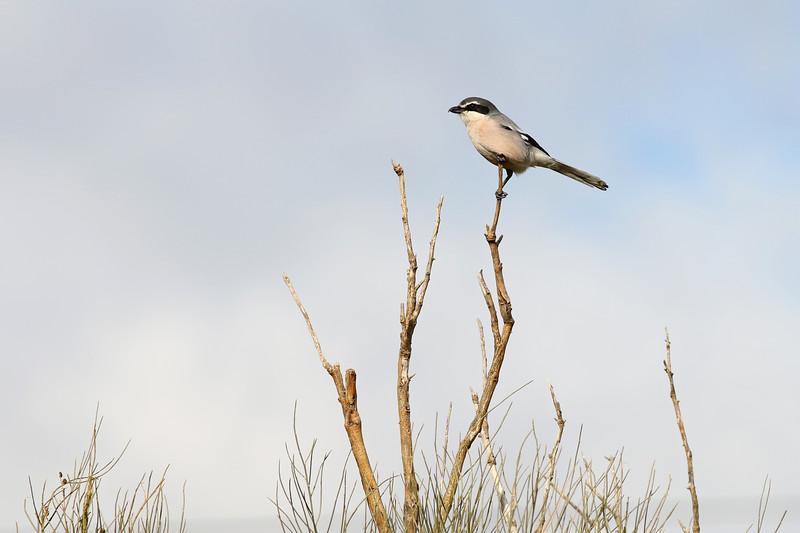 Pie-grièche méridionale - Lanius meridionalis - Southern grey Shrike