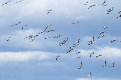 Grue cendrée - Grus grus - Common Crane