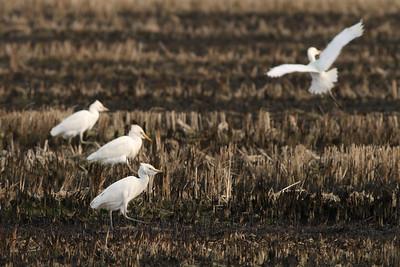 Héron garde-boeufs - Bubulcus ibis - Cattle Egret
