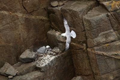 Fulmar boréal - Fulmar glacialis