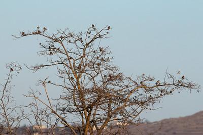 Bruant proyer - Emberiza calandra - Corn BuntingChardonneret élégant - Carduelis carduelis - Goldfinch
