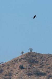 Vautour moine - Aegypius monachus - Black Vulture