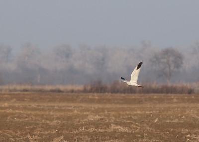 Busard pâle - Circus macrourus - Pallid Harrier