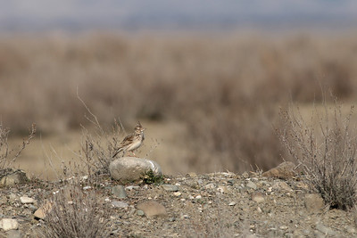 Cochevis huppé - Galerida cristata - Crested Lark
