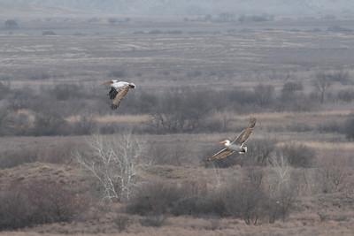Pélican frisé - Pelecanus crispus - Dalmatian Pelican