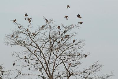 Linotte mélodieuse - Carduelis cannabina - Eurasian LinnetPinson du Nord - Fringilla montifringilla - BramblingMoineau espagnol - Passer hispaniolensis - Spanish Sparrow