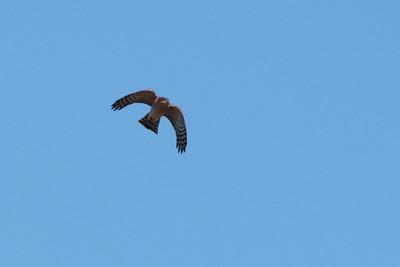 Épervier d'Europe - Accipiter nisus - Eurasian Sparrowhawk