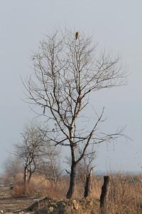 Buse féroce - Buteo rufinus - Long-legged Buzzard