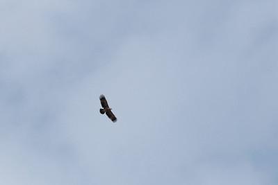 Aigle impérial - Aquila heliaca - Imperial Eagle