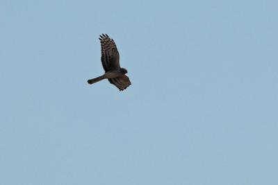 Busard Saint-Martin - Circus cyaneus - Hen Harrier