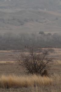 Pie-grièche grise - Lanius excubitor - Great grey Shrike