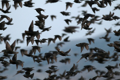 Étourneau sansonnet - Sturnus vulgaris - Common Starling