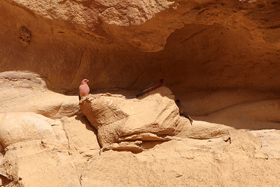 Roselin du Sinaï - Carpodacus synoicus - Sinai Rosefinch