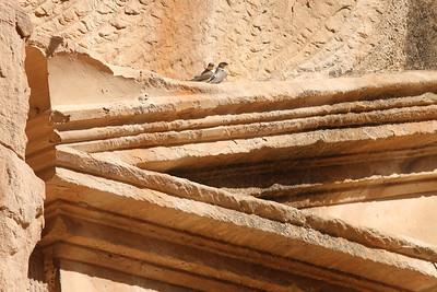 Hirondelle du désert  - Ptyonoprogne obsoleta - Pale Crag Martin