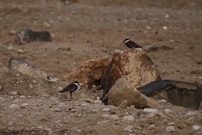 Vanneau éperonné - Vanellus spinosus - Spur-winged Lapwing