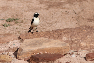 Traquet oreillard - Oenanthe (hispanica) melanoleuca - (Eastern) Black-eared Wheatear
