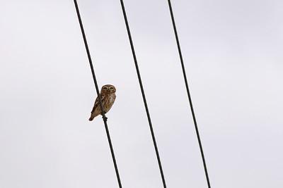 Chevêche d'Athéna - Athene noctua - Little Owl
