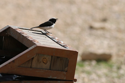 Traquet deuil - Oenanthe lugens - Mourning Wheatear