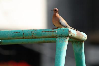Tourterelle maillée - Streptopelia senegalensis - Laughing Dove