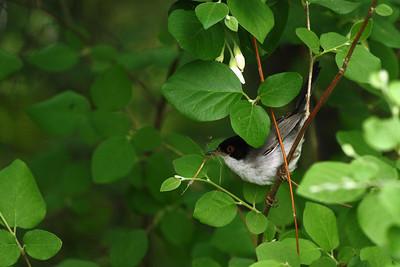 Fauvette mélanocéphale - Sylvia melanocephala - Sardinian Warbler