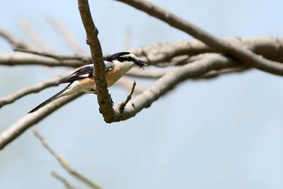 Pie-grièche masquée - Lanius nubicus - Masked Shrike