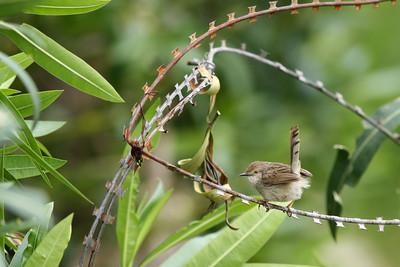 Prinia gracile - Prinia gracilis - Graceful Prinia