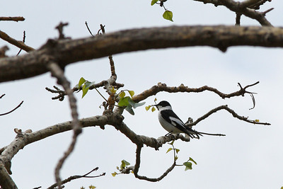 Gobemouche à collier - Ficedula albicollis - Collared Flycatcher