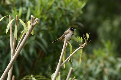 Bulbul d'Arabie - Pycnonotus xanthopygos - White-spectacled Bulbul