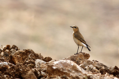 Traquet motteux - Oenanthe oenanthe - Northern Wheatear ♀