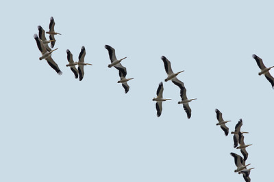 Pélican blanc - Pelecanus onocrotalus - Great white Pelican