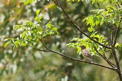 Pipit des arbres - Anthus trivialis - Tree Pipit