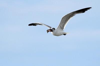 Mouette atricille - Leucophaeus atricilla - Laughing Gull