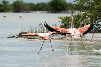 Flamant des Caraïbes - Phoenicopterus ruber - American Flamingo