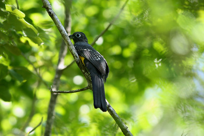 Trogon à tête noire - Trogon melanocephalus - Black-headed Trogon ♀