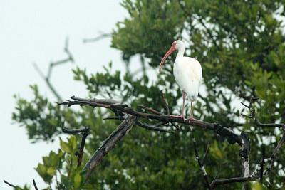 Ibis blanc - Eudocimus albus - American White Ibis